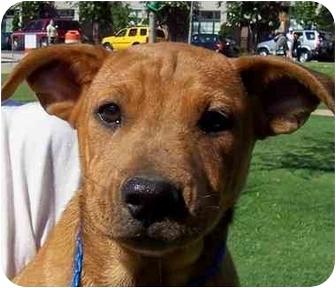 Labrador Retriever/Australian Cattle Dog Mix Puppy for adoption in Olive Branch, Mississippi - Susie Q