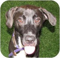 Cattle Dog/Labrador Retriever Mix Dog for adoption in Eatontown, New Jersey - Skittles