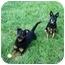 Photo 2 - Miniature Pinscher/Labrador Retriever Mix Dog for adoption in Green Cove Springs, Florida - Ranger