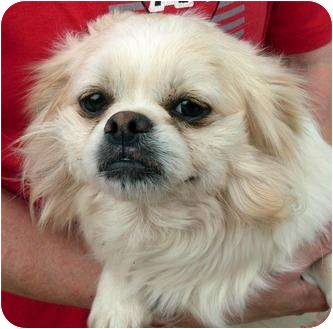 Pekingese/Chihuahua Mix Dog for adoption in Harrison, Arkansas - Bruiser
