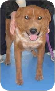 Cattle Dog Mix Dog for adoption in Lubbock, Texas - Roy Lee