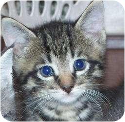 Domestic Shorthair Kitten for adoption in Barron, Wisconsin - Leonardo and Michelangelo