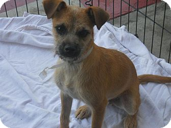 Schnauzer (Miniature)/Yorkie, Yorkshire Terrier Mix Puppy for adoption in Poway, California - Holmes