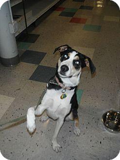 Husky/Labrador Retriever Mix Dog for adoption in Schaumburg, Illinois - MIssy