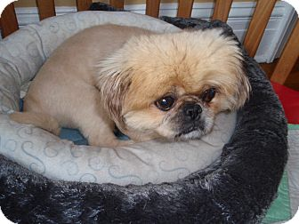 Pekingese Mix Dog for adoption in Richmond, Virginia - Tommy