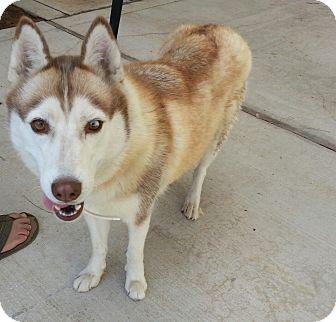 Siberian Husky Dog for adoption in Apple valley, California - Ezme