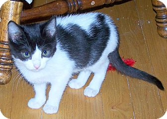 Domestic Shorthair Kitten for adoption in Troy, Michigan - Maurice