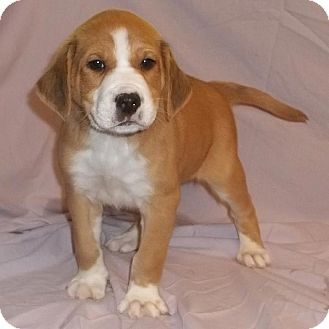 Boxer/Collie Mix Puppy for adoption in Bel Air, Maryland - Denny