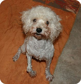Poodle (Miniature) Mix Dog for adoption in San Antonio, Texas - Dee Dee
