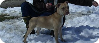 Shar Pei/Staffordshire Bull Terrier Mix Puppy for adoption in Roodhouse, Illinois - Zena