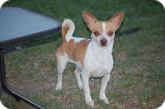 Chihuahua Mix Dog for adoption in Kempner, Texas - Riko