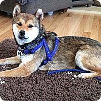 Adopt A Pet :: Biscuit - Centennial, CO