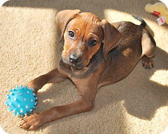 Terrier (Unknown Type, Medium)/Hound (Unknown Type) Mix Puppy for adoption in Homewood, Alabama - Natalie