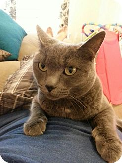 Domestic Shorthair Cat for adoption in El Dorado Hills, California - Meows