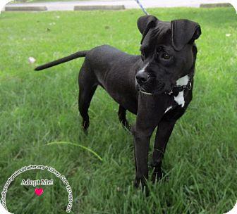 Boxer/Labrador Retriever Mix Dog for adoption in Sidney, Ohio - Ammo