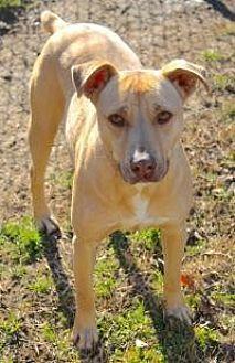 Labrador Retriever Dog for adoption in Memphis, Tennessee - Jordan