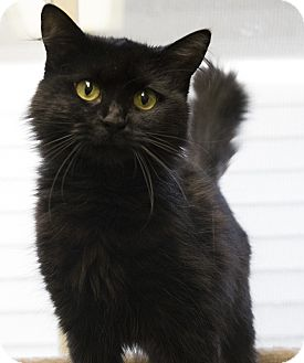 Domestic Mediumhair Cat for adoption in Fremont, Nebraska - Samantha