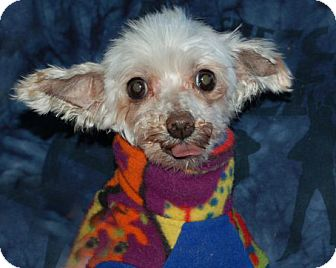 Maltese Dog for adoption in West Harrison, New York - Morgan*Adopted