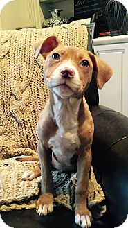 Boxer/Labrador Retriever Mix Puppy for adoption in Greenfield, Wisconsin - Sloan