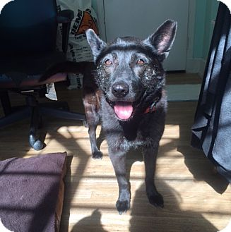 Dutch Shepherd Mix Dog for adoption in San Francisco, California - Rosemary