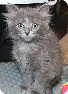 Domestic Longhair Kitten for adoption in Fort Worth, Texas - Sable