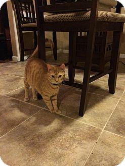 Domestic Shorthair Cat for adoption in oklahoma city, Oklahoma - Cali