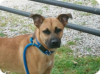 Shepherd (Unknown Type)/Boxer Mix Dog for adoption in Martinsville, Indiana - Madalyn