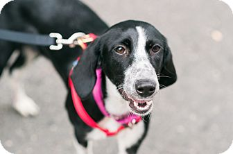 Hound (Unknown Type)/Australian Shepherd Mix Dog for adoption in Jersey City, New Jersey - Rosemary Clooney