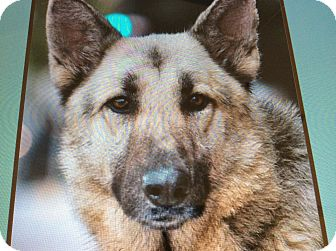 German Shepherd Dog Dog for adoption in Los Angeles, California - TROOPER VON TJARK