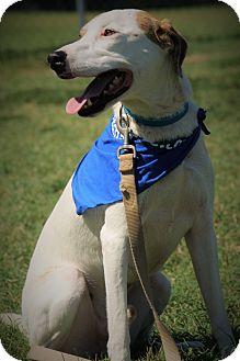 Hound (Unknown Type)/Terrier (Unknown Type, Medium) Mix Dog for adoption in Richmond, Virginia - Prince