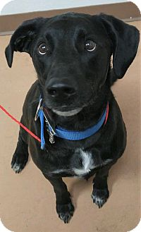 Labrador Retriever/Border Collie Mix Dog for adoption in Fruit Heights, Utah - Wednesday