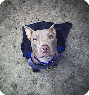 Pit Bull Terrier Mix Dog for adoption in Fort Worth, Texas - Batman