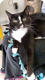 Domestic Shorthair Cat for adoption in Austintown, Ohio - Cecillia