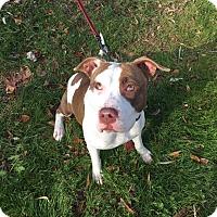 Adopt A Pet :: V - Westminster, MD