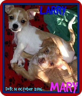 Shih Tzu Mix Puppy for adoption in Jersey City, New Jersey - LARRY & HARRY