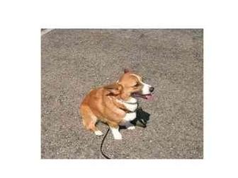 Pembroke Welsh Corgi Dog for adoption in Lomita, California - Pedro