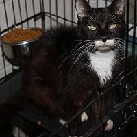 Adopt A Pet :: Socks - Marietta, OH