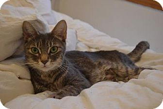 Domestic Shorthair Cat for adoption in THORNHILL, Ontario - RASPBERRY