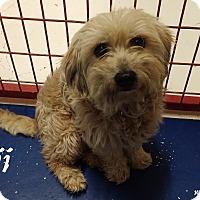 Adopt A Pet :: Benji - Rockwall, TX