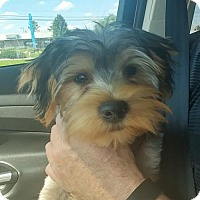 Adopt A Pet :: Atticus - Florence, KY