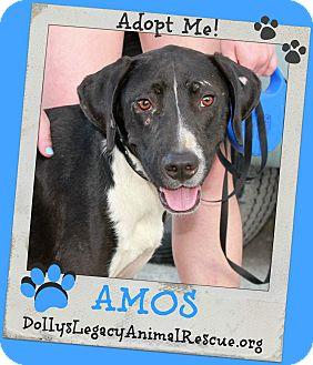 Labrador Retriever/Pointer Mix Dog for adoption in Lincoln, Nebraska - AMOS