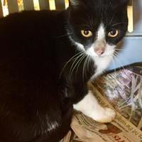 Domestic Shorthair/Domestic Shorthair Mix Cat for adoption in St. Thomas, Virgin Islands - BOB