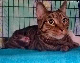 American Shorthair Cat for adoption in Brooklyn, New York - Mark