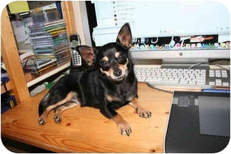 Chihuahua Dog for adoption in Lakewood, Colorado - Tink