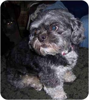 Shih Tzu Dog for adoption in Grant Park, Illinois - Sarah