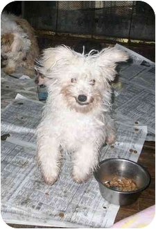 Bichon Frise Puppy for adoption in south plainfield, New Jersey - Manny