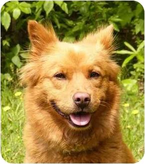 Finnish Spitz/Corgi Mix Dog for adoption in Mocksville, North Carolina - Mindy