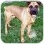 Photo 1 - Boxer/Shepherd (Unknown Type) Mix Dog for adoption in Latrobe, Pennsylvania - Norman