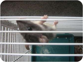 Rat for adoption in Cincinnati, Ohio - Jermaine