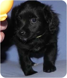 Chihuahua/Dachshund Mix Puppy for adoption in Westminster, Colorado - Merlot